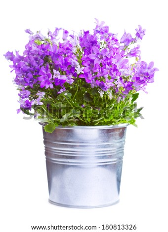 campanula in a pot isolated on a white background