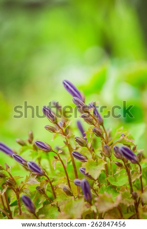 Campanula is one of several genera in the family Campanulaceae with the common name bellflower. - stock photo