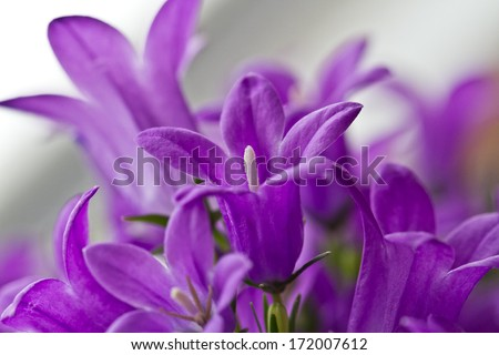 campanula or bellflowers on white. Flowers background with purple campanula flowers