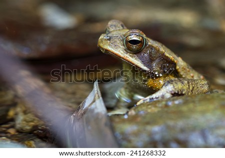 Campbell's Rainforest Toad (Bufo campbelli) in the Bladen Nature Reserve, Toledo, Belize