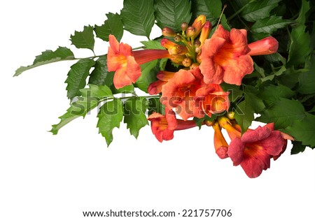 Campsis radicans flowers (trumpet vine or trumpet creeper) in family Bignoniaceae, also known as cow itch or hummingbird vine, native to woodland in China and America. Isolated on white background - stock photo