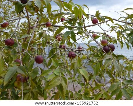 Camu-Camu bushy with ripe fruits (Myrciaria dubia) on the Rio Negro riverside, Amazonas, Brazil - stock photo