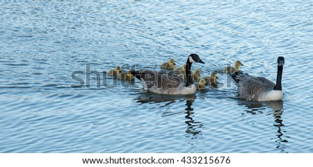 Canada, Calgary: Canada goose family with goslings swimming at a pond - stock photo