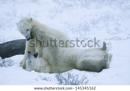 Canada Churchill polar bear cubs playing in snow - stock photo
