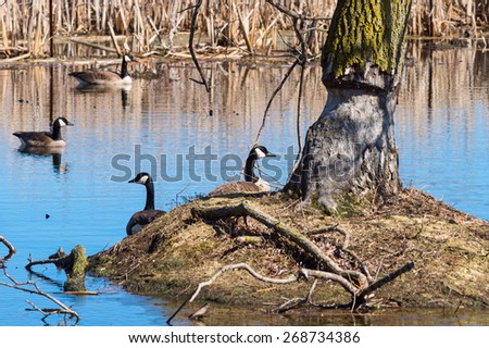 Canada geese around a tree damaged by a beaver - stock photo