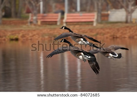 Canada Geese Coming In For a Landing - stock photo