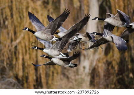 Canada Geese Flying Across the Autumn Woods - stock photo