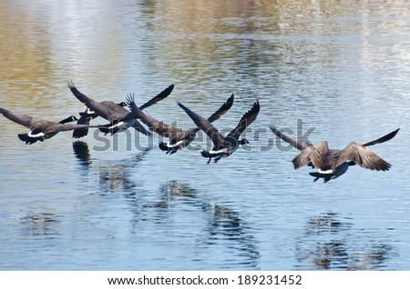 Canada Geese Flying Over Water - stock photo