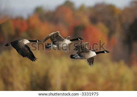 Canada Geese in fall migration. - stock photo