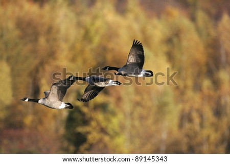 Canada Geese in flight - stock photo