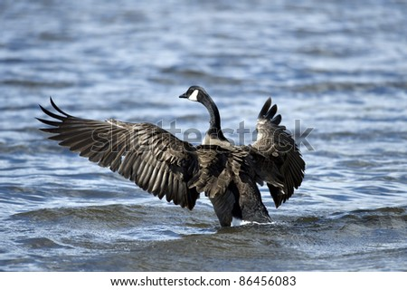 Canada geese in the lake - stock photo