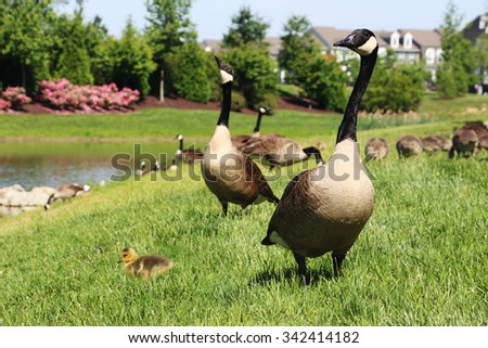 Canada geese with goslings are feeding on lush grass by a pond - stock photo