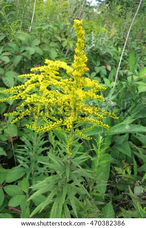 Canada goldenrod or Canadian goldenrod  (Solidago canadensis) in the meadow