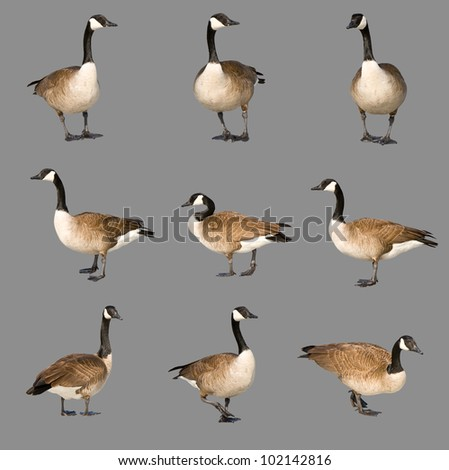 Nature Photography, Adult Canada Goose' - Canadian in Ohio