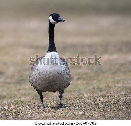 Canada Goose  - stock photo