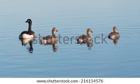 Canada Goose Branta Canadensis - stock photo