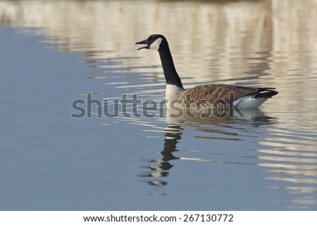 Canada Goose (Branta canadensis) calling on Lake Huron in early spring with reflection of ice in background - Ontario  Canada - stock photo