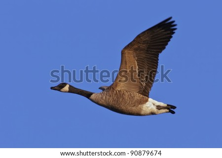 Canada Goose (Branta canadensis) in flight against a blue sky background.