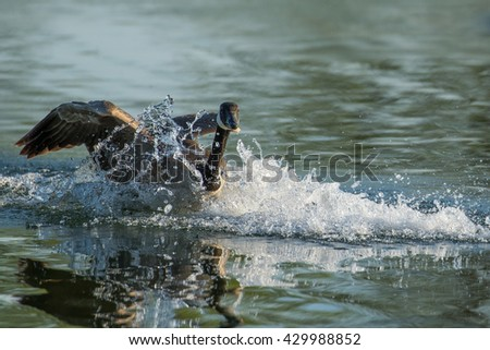 Canada Goose - Branta canadensis, landing in a pond with a big splash of water.