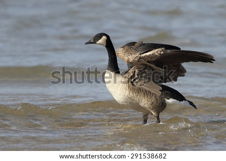 Canada Goose (Branta canadensis) Stretching its Wings on a Lake Huron Beach - Grand Bend, Ontario - stock photo