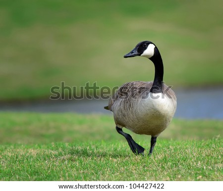 Canada Goose (branta canadensis) strolling in the park - stock photo