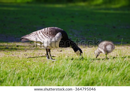 Canada goose, Branta canadensis. Wildlife animal. Family from mother-bird and fluffy baby gosling - stock photo