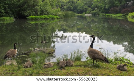 Canada Goose (Branta canadensis) with young by lake in Central Park, New York City - stock photo