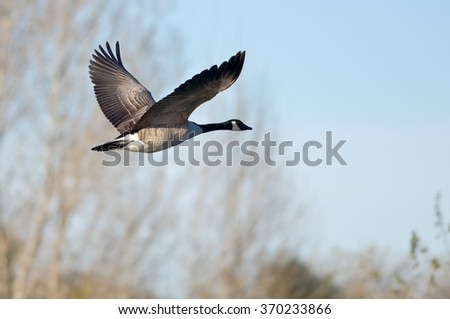 Canada Goose Flying Low Over the Autumn Pond - stock photo
