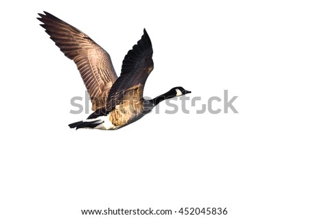 Canada Goose Flying on a White Background - stock photo