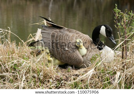 Canada Goose gosling (chick) getting comfortable under its mother's wing in a marsh in Winnipeg, Manitoba, Canada - stock photo
