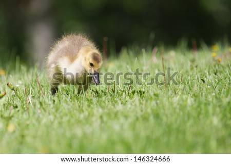 Canada goose gosling walking and eating on the grass.