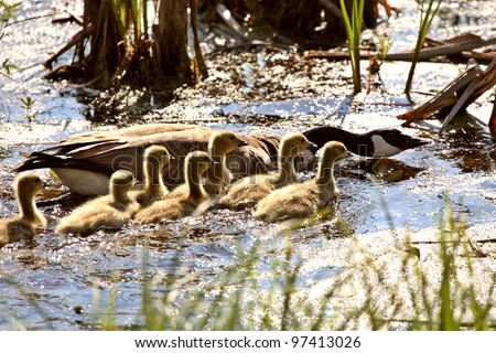 Canada Goose goslings with parent in roadside pond - stock photo