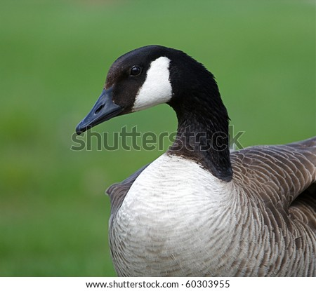 Canada Goose, highly detailed portrait isolated against a green background; Minot, South Dakota; Branta canadensis