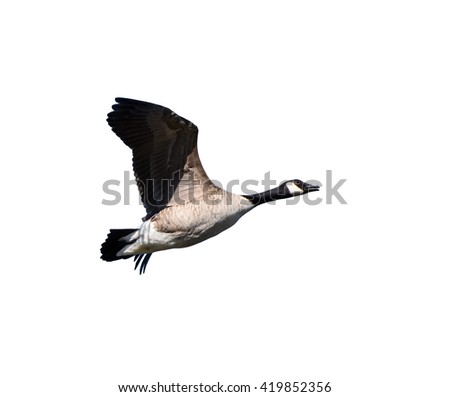 Canada Goose in Flight on White Background, Isolated - stock photo