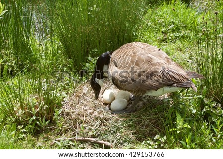 canada goose protect her eggs - stock photo