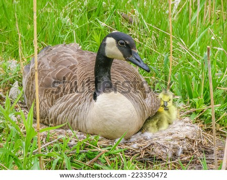 Canada Goose sitting on a nest next to a pond in early spring. - stock photo