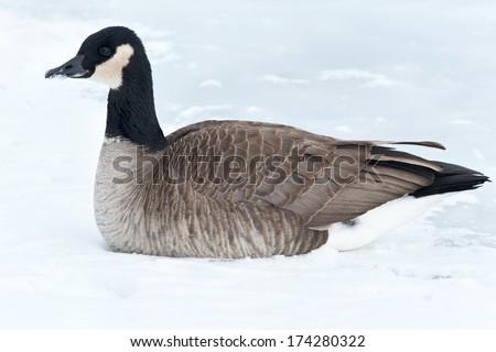 Canada Goose sitting on the ice. - stock photo