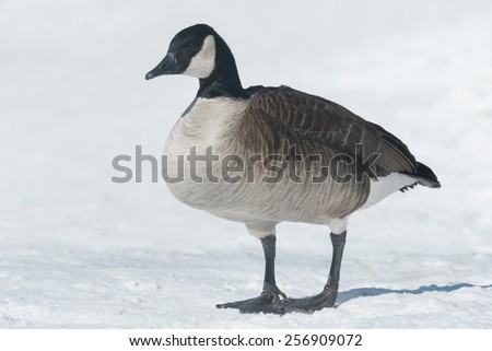 Canada Goose standing in the snow. - stock photo