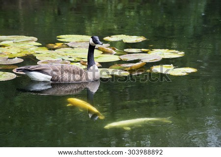 Canada Goose swims with water lilies and Coy Fish. - stock photo