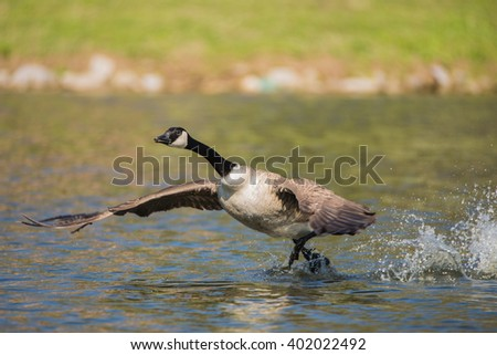 Canada Goose Taking off - stock photo