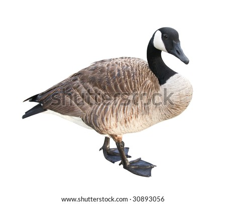 Canada Goose with clipping path. - stock photo