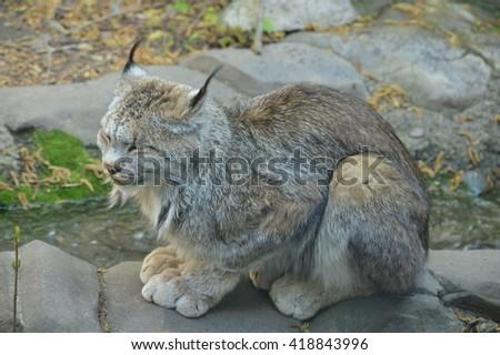 Canada Lynx - stock photo
