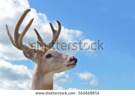 Canadian deer in front of blue sky