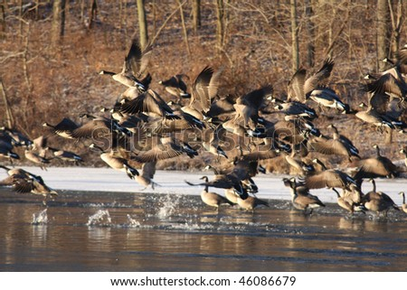 Canadian geese - stock photo