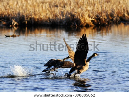 Canadian geese, Branta canadensis, taking off  - stock photo