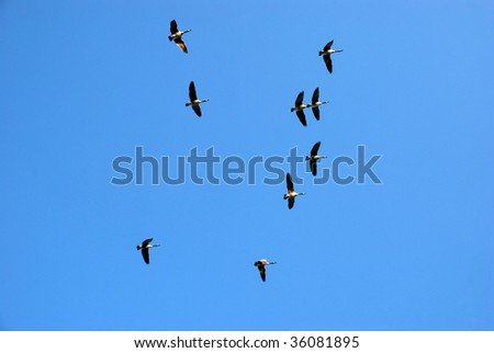Canadian geese flying high in the blue sky