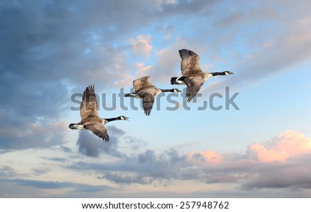Canadian Geese flying into a sunset - stock photo
