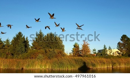 Canadian geese flying over a pond in Ontario, Canada