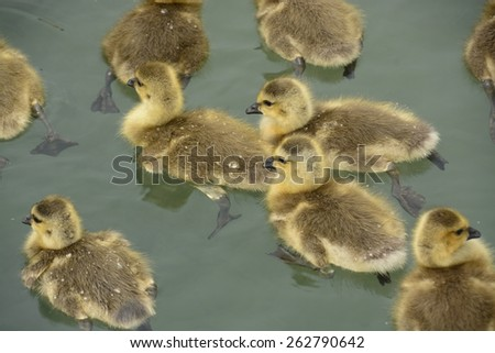 Canadian Geese Goslings Swimming - stock photo