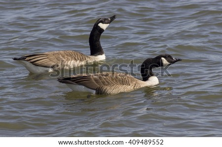 Canadian geese in the water